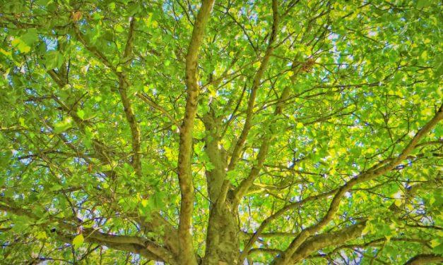 Dreizahn-Ahorn wächst jetzt am Brunnenplatz